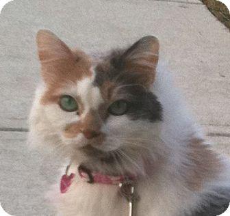 Persian Cat for adoption in Hamilton, New Jersey - PRINCESS FIONA