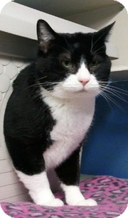 Domestic Shorthair Cat for adoption in Anchorage, Alaska - Tux