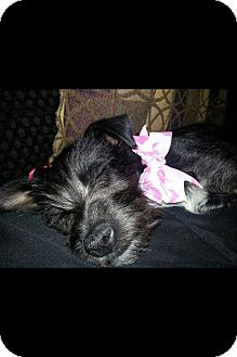 Fox Terrier (Wirehaired) Mix Puppy for adoption in Donaldsonville, Louisiana - Blackey