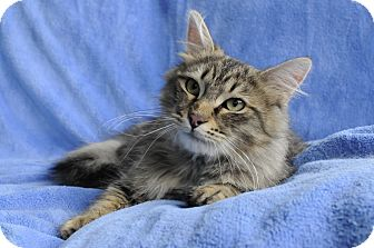 Maine Coon Cat for adoption in Columbus, Ohio - Valentino