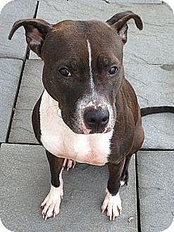 American Pit Bull Terrier Mix Dog for adoption in Dennis, Massachusetts - SAVANNAH