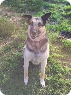 German Shepherd Dog Dog for adoption in Mill Creek, Washington - Rock*COURTESY POST*