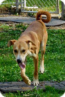 Hound (Unknown Type)/Husky Mix Dog for adoption in Salem, West Virginia - Hammy