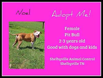 American Staffordshire Terrier/American Pit Bull Terrier Mix Dog for adoption in Covington, Tennessee - Noel