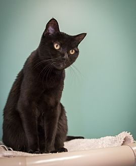 Domestic Shorthair Cat for adoption in Houston, Texas - Maya