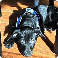 Adopt A Pet :: Anastasia - New Milford, CT
