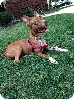 American Pit Bull Terrier/Chihuahua Mix Dog for adoption in Chicago, Illinois - Ya-Ya