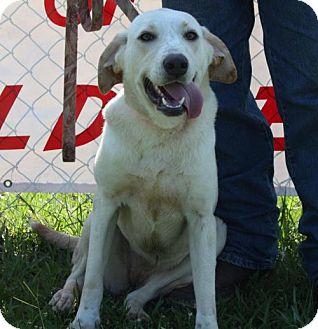 Labrador Retriever Dog for adoption in Grayson, Louisiana - Jen Jen (Jennifer)