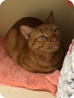American Shorthair Cat for adoption in New York, New York - Copper