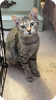 Domestic Shorthair Kitten for adoption in Adona, Arkansas - Sassy
