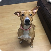 Adopt A Pet :: Lacey in CT - Manchester, CT