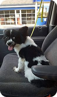 Papillon Dog for adoption in Blue Bell, Pennsylvania - Miss Wisp