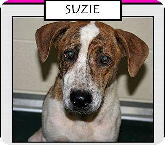 Retriever (Unknown Type) Mix Dog for adoption in Fairfax, Virginia - Suzie
