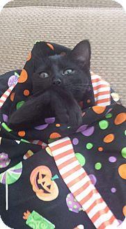 Domestic Shorthair Kitten for adoption in Washington, North Carolina - SALEM