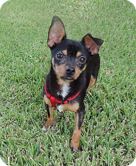 Chihuahua Mix Dog for adoption in Humble, Texas - Ace