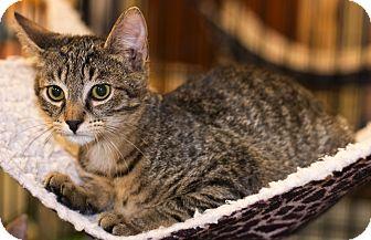 Domestic Shorthair Kitten for adoption in Charlotte, North Carolina - A..  Freddy