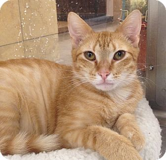 Domestic Shorthair Cat for adoption in Houston, Texas - Henry