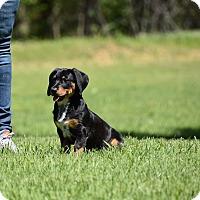 Adopt A Pet :: Drake - Groton, MA
