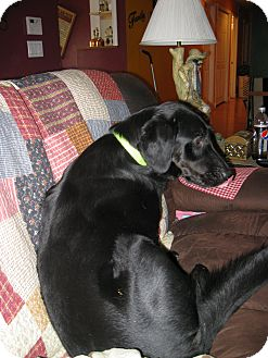 Labrador Retriever/Border Collie Mix Dog for adoption in Prole, Iowa - Ace
