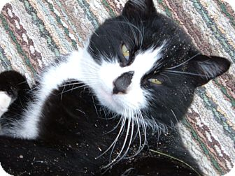 Domestic Shorthair Cat for adoption in Westfield, Massachusetts - Cookie