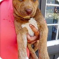 Adopt A Pet :: Harvey - Cypress, CA