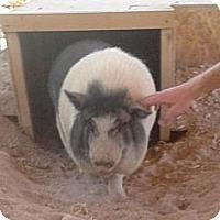 Adopt A Pet :: Cowboy Max - Las Vegas, NV