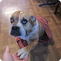 Adopt A Pet :: Ivy - Cibolo, TX