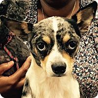 Adopt A Pet :: Auggie - Orlando, FL
