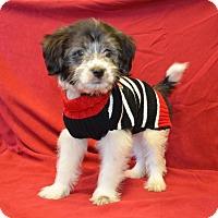 Adopt A Pet :: *Blizzard - PENDING - Westport, CT