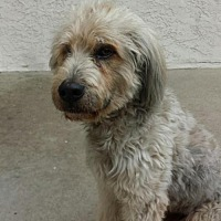 English Sheepdog Dog for adoption in Rancho Santa Margarita, California - ZZ-Taepoong *courtesy post