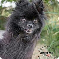 Adopt A Pet :: Koda - Cheyenne, WY