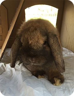 Lop, Holland for adoption in San Clemente, California - SERGE