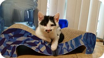 Domestic Shorthair Kitten for adoption in Columbus, Ohio - Mordechai