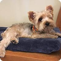 Adopt A Pet :: Gigi - Los Angeles, CA