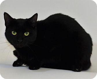 Domestic Shorthair Cat for adoption in New Iberia, Louisiana - PRISCILLA