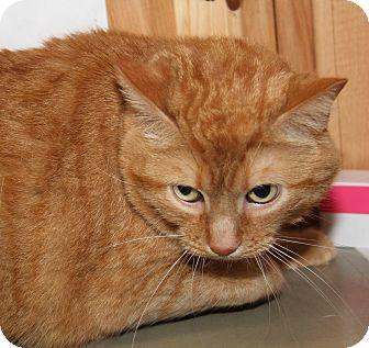 Domestic Mediumhair Cat for adoption in Marietta, Ohio - Azarel (Spayed/Declawed)