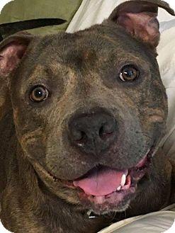 Pit Bull Terrier Dog for adoption in Kansas City, Missouri - Dimples