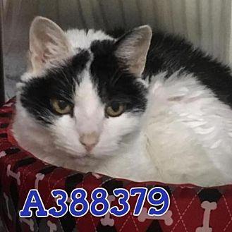 Domestic Mediumhair Cat for adoption in San Antonio, Texas - MONK
