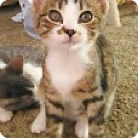 Adopt A Pet :: Asia - McHenry, IL