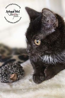 Domestic Shorthair Kitten for adoption in Belton, Missouri - Joel