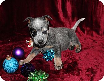 Australian Cattle Dog Mix Puppy for adoption in West Milford, New Jersey - MAGYK-pending