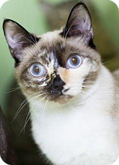 Siamese Cat for adoption in Auburn, California - Mitzi Gaynor