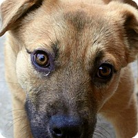 Adopt A Pet :: Pup Cisco - Rockville, MD