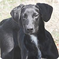 Adopt A Pet :: Scone (New Pics) - Mahwah, NJ
