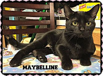 Domestic Shorthair Cat for adoption in Valley Park, Missouri - Maybelline