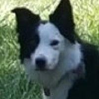 """Border Collie Dog for adoption in Minerva, Ohio - Cooper""""Adoption Pending"""""""