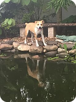 Hound (Unknown Type)/American Bulldog Mix Dog for adoption in Port Charlotte, Florida - Wrangler