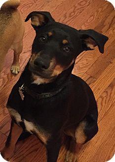 Coonhound/Labrador Retriever Mix Dog for adoption in Pennigton, New Jersey - Reggie