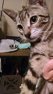 Domestic Shorthair Cat for adoption in Walla Walla, Washington - Fred