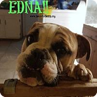 English Bulldog Puppy for adoption in Clinton, Mississippi - Edna
